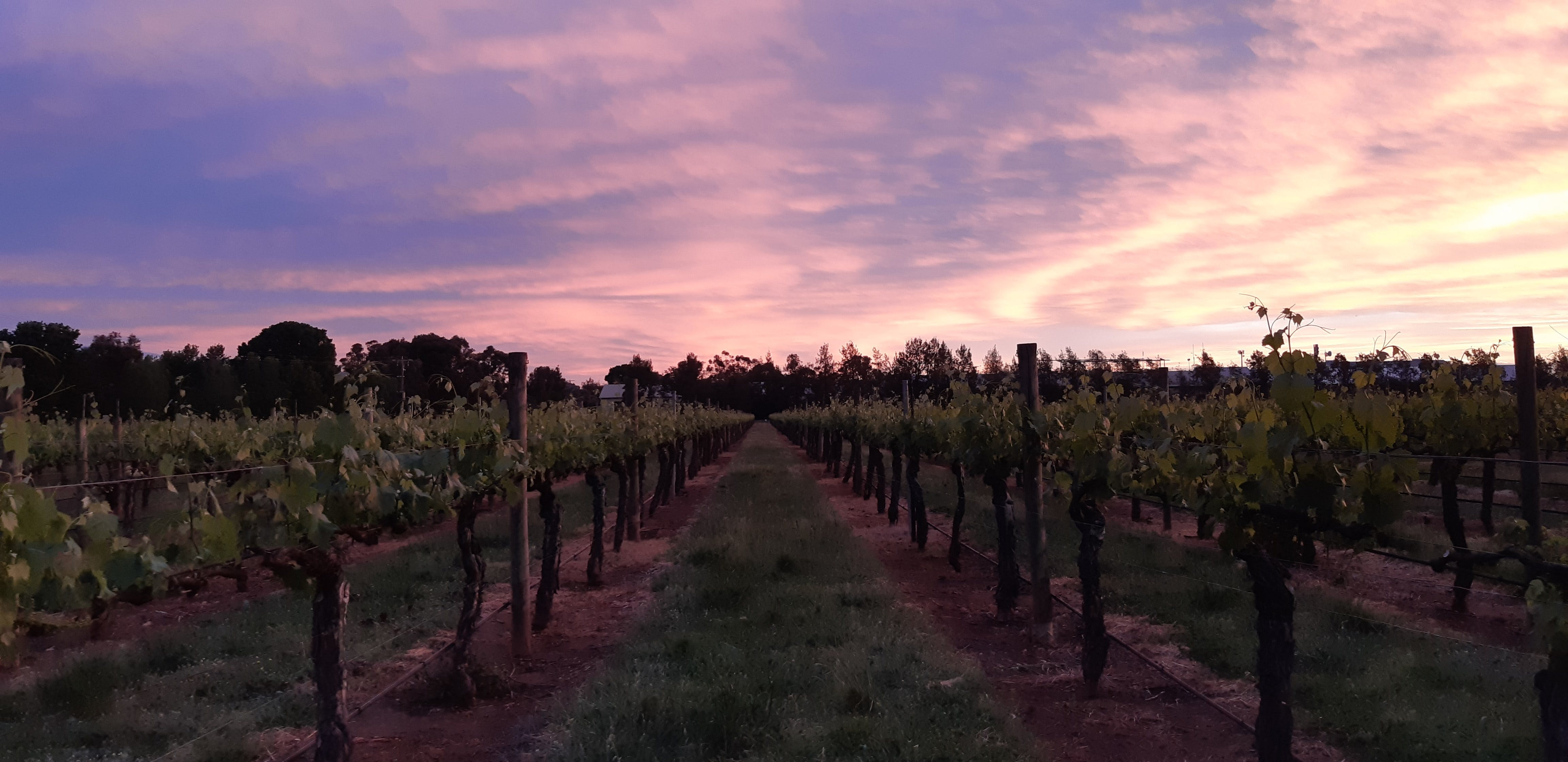 Milawa Vineyard Views - South Australia Travel