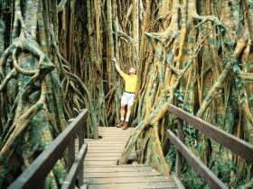 Curtain Fig Tree - South Australia Travel