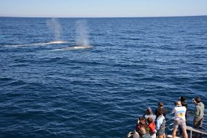 Blue Whale Perth Canyon Expedition - South Australia Travel
